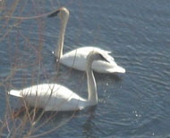 swans, cornerstone coop, plymouth, mn, carefree living